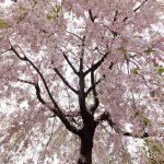 奈良の桜の名所!行く価値ありの10ヶ所はココだ!!❀